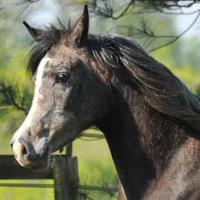 Arabian horse 715 b