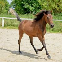 Arabian horse 750 h