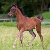 Arabian horse 732 neu a